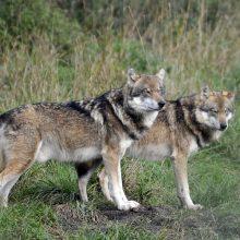 Kol vilkai pjauna gyvulius, verda ginčas dėl jų medžioklės