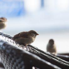 Ornitologai šį savaitgalį kviečia skaičiuoti paukščius