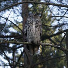 Lietuvos zoologijos sode užaugintas apuokas paleistas į gamtą