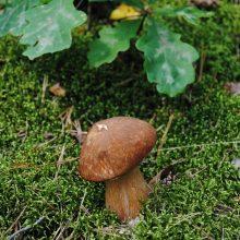 Medžių ir grybų draugystė: kur ieškoti baravykų, o kur – raudonikių