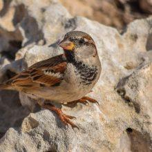 Kaip paukščiai išmoksta vieni kitų kalbą?