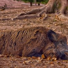 Belgija įtaria, kad kiaulių maro užkratas į šalį galėjo patekti iš Baltijos valstybių