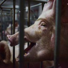 Afrikinis kiaulių maras toliau plinta: pasiekė Vakarų Europą