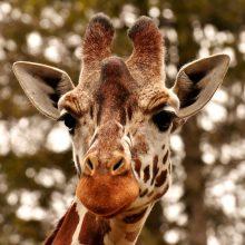 Vienas keisčiausių gyvūnų pasaulyje – ar žinote, kaip miega žirafos?
