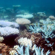 Mokslininkai pradėjo Didžiojo barjerinio rifo koralų atauginimo projektą