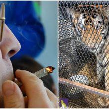 """""""Pagirios Las Vegase"""" scenarijus išsipildė realybėje: kanapių mėgėjai rado tigrą"""