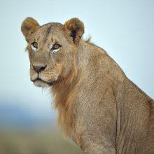 Rusijos Sibire parduodamo namo kieme rastas išsekęs liūtas