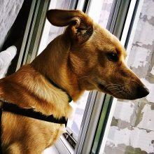 Laikote šunį daugiabutyje ir jis garsiai loja – jums grės bauda