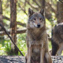 Vilkų medžioklė pavojaus nekelia