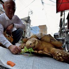 Iš Japonijos zoologijos sodo pabėgusi vėžlė milžinė rasta už 140 metrų