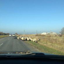 Vairuotojai pasipiktinę: Dituvos kelyje – avių banda