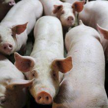 Premjeras ragina Lenkiją kalbėtis dėl kiaulienos importo