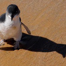 Australijoje šunys sudraskė beveik 60 mažųjų pingvinų