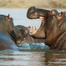 Kenijoje hipopotamai mirtinai sužalojo du žmones