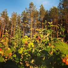 Į Lietuvą – dėl bičių ir medaus