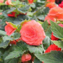 Gumbinė begonija puikiai auga gėlynuose ir balkonuose.