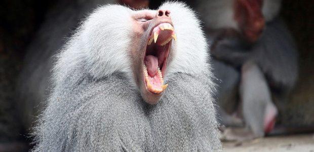 Oro uoste sumaištį sukėlė pabėgęs babuinas