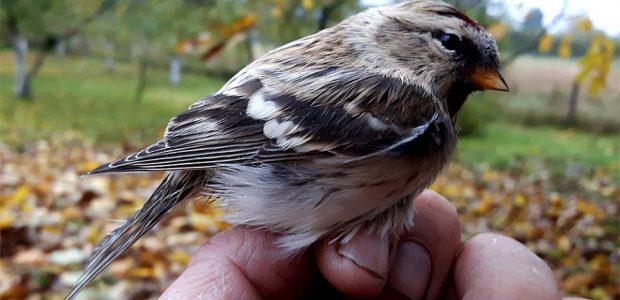 Paukščius vilioja garsiakalbiais