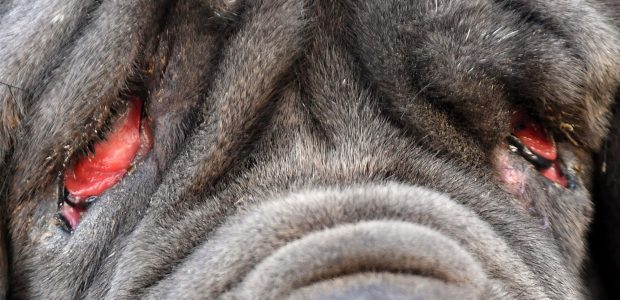 Bjauriausias pasaulyje šuo – mastifų veislės kalė Marta