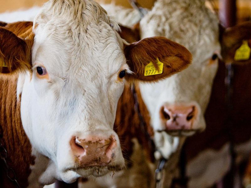 Europoje plinta pavojinga galvijų liga: veterinarai ragina nesibaiminti