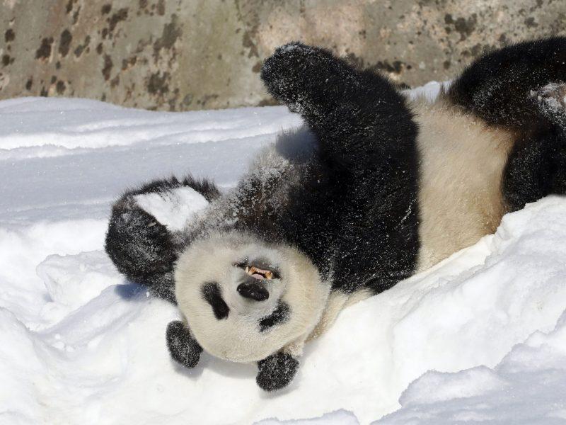 Kinija planuoja didžiulį pandų apsaugos parką