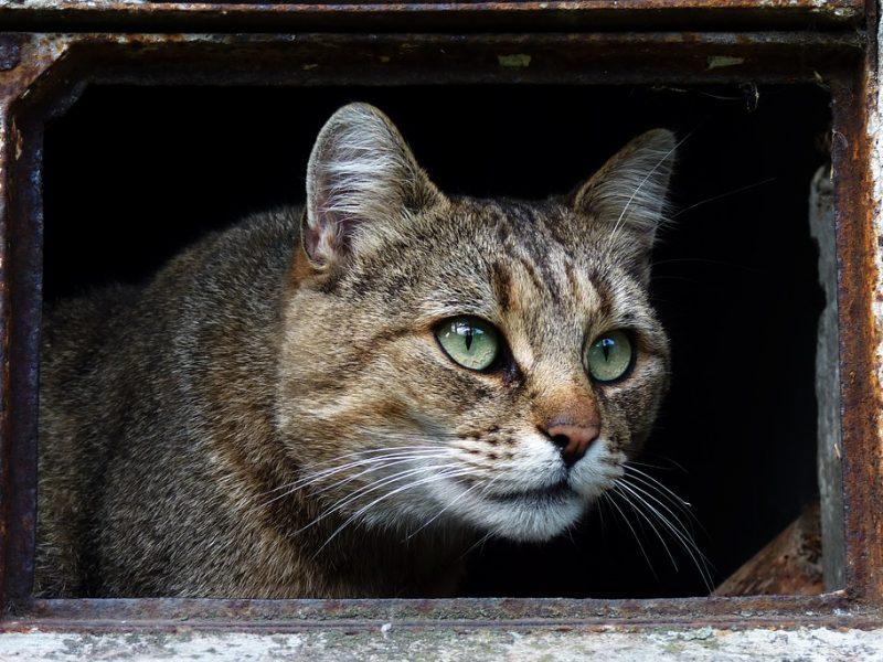Panevėžyje nuo šautinės žaizdos nugaišo katinas
