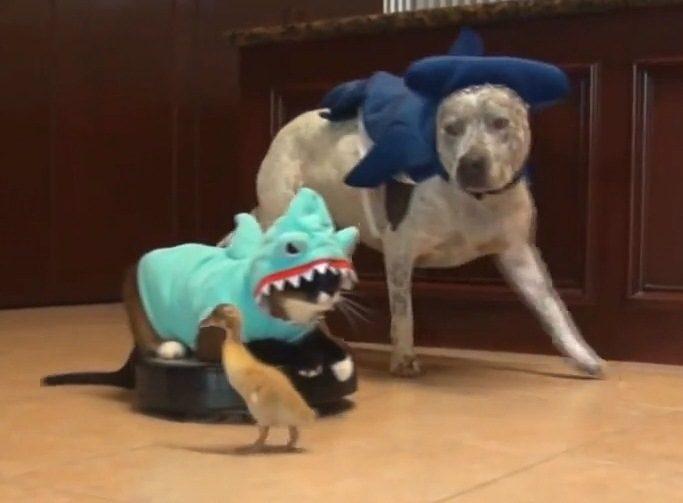 Dulkių siurbliu besivažinėjantis Katinas-Ryklys grįžo