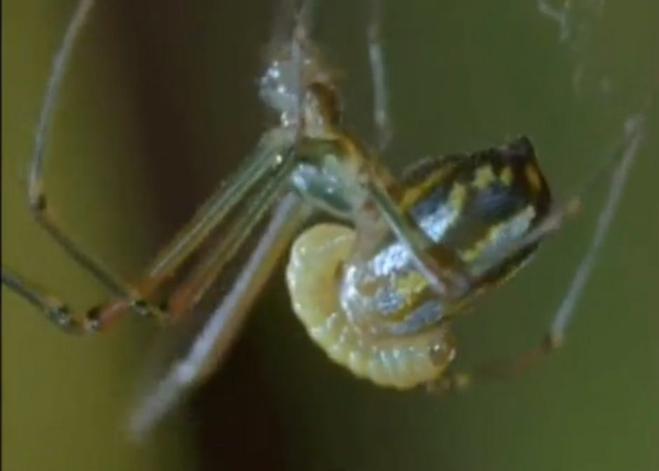 Vorai-zombiai voratinklius rezga apsvaiginti haliucinogenų