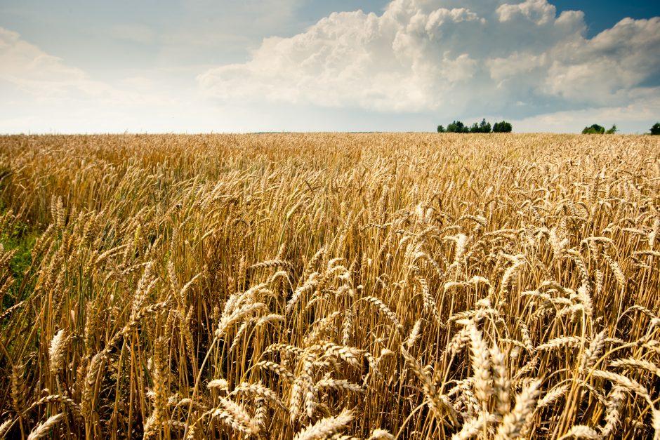 Lietuviškų grūdų derlių veš ir vagonai iš užsienio šalių