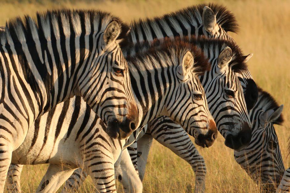 Kokios spalvos yra zebrai?