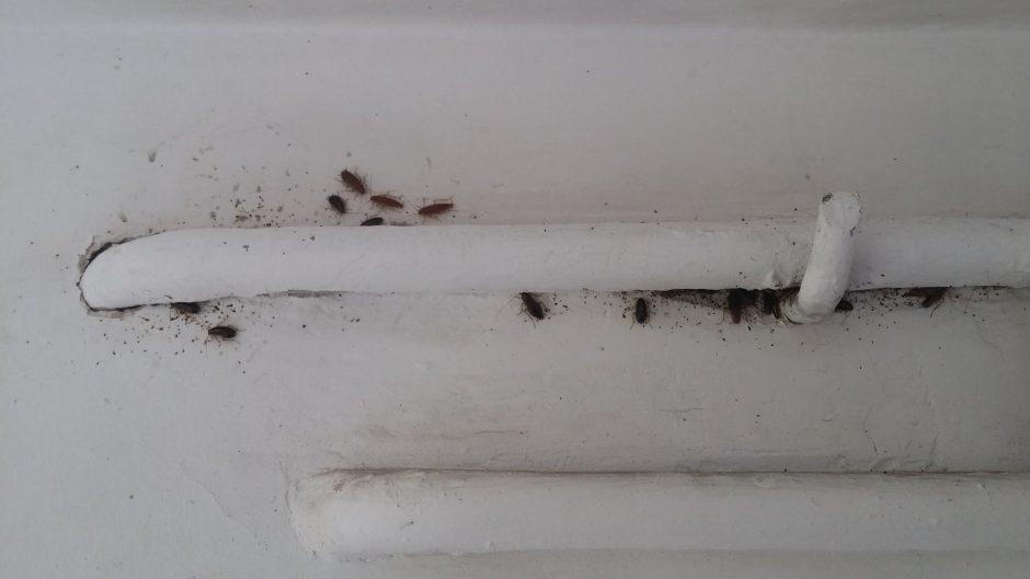 Studentų gyvenimą kartina tarakonai: šiais metais jų kaip niekad daug
