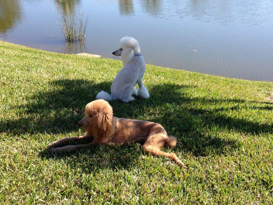 Šunų kirpėjai pasirūpina ne tik išvaizda, bet ir sveikata