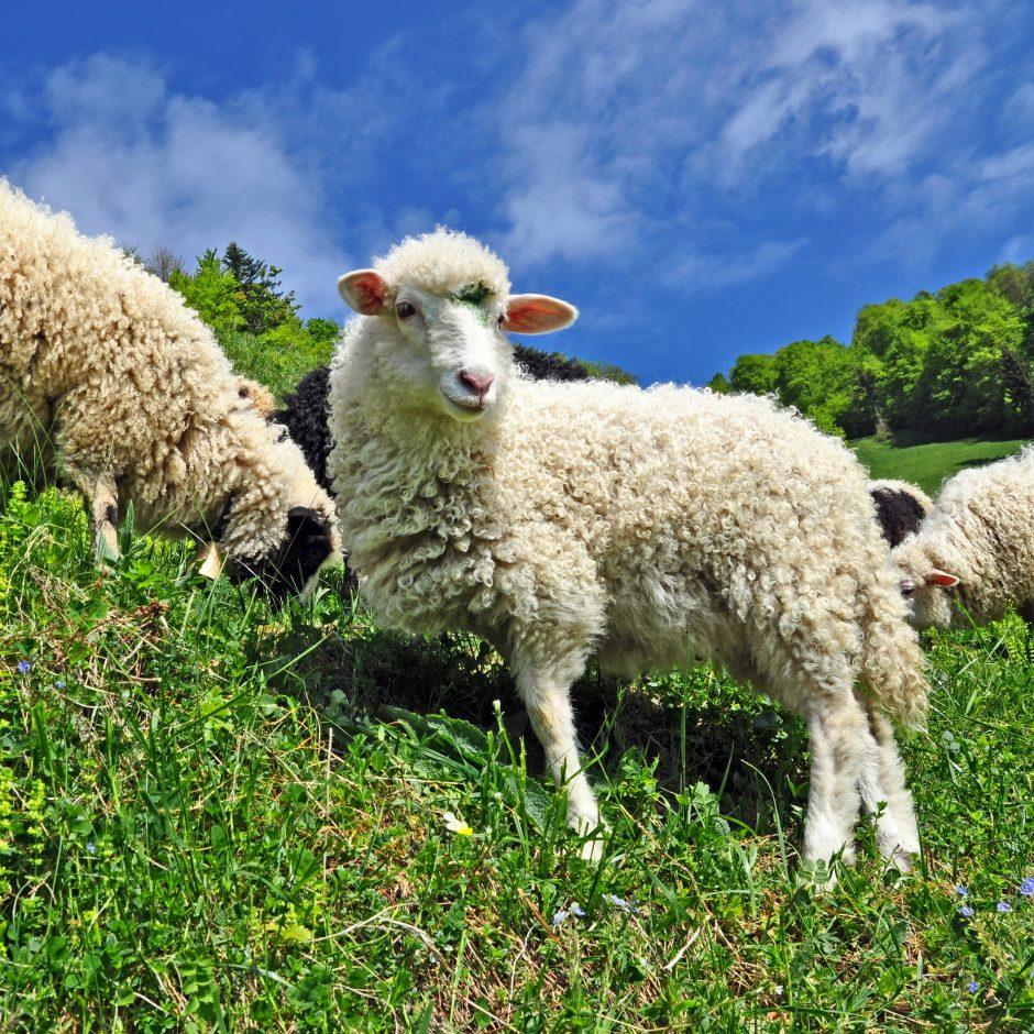 Aviena uostamiesčio turguose – reta ir brangi prekė