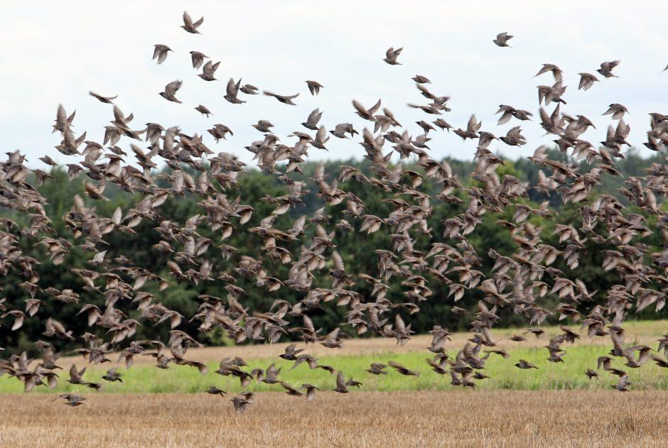 Per paukščių migraciją išjungiamos aukštos įtampos elektros linijos