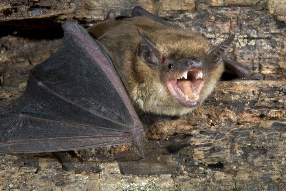 Kad šikšnosparnis įsivels į plaukus savo noru – mažai tikėtina