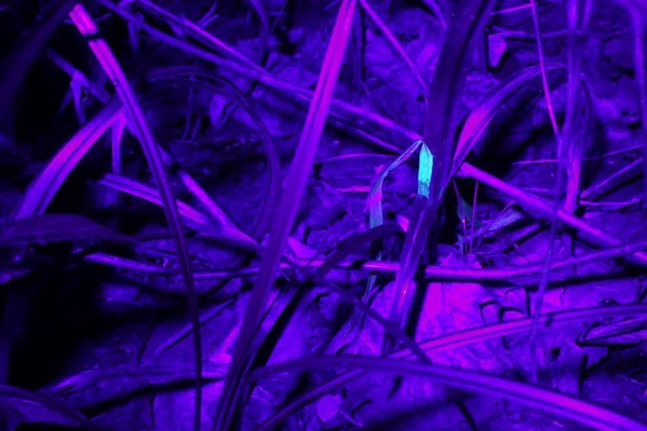 Netolima ateitis: vietoje gatvės žibintų – švytintys augalai