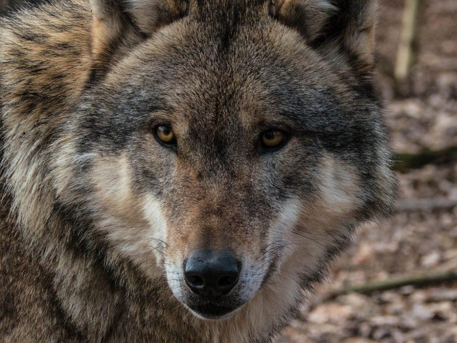 Paskirstyta likusi leidžiamų sumedžioti vilkų limito dalis