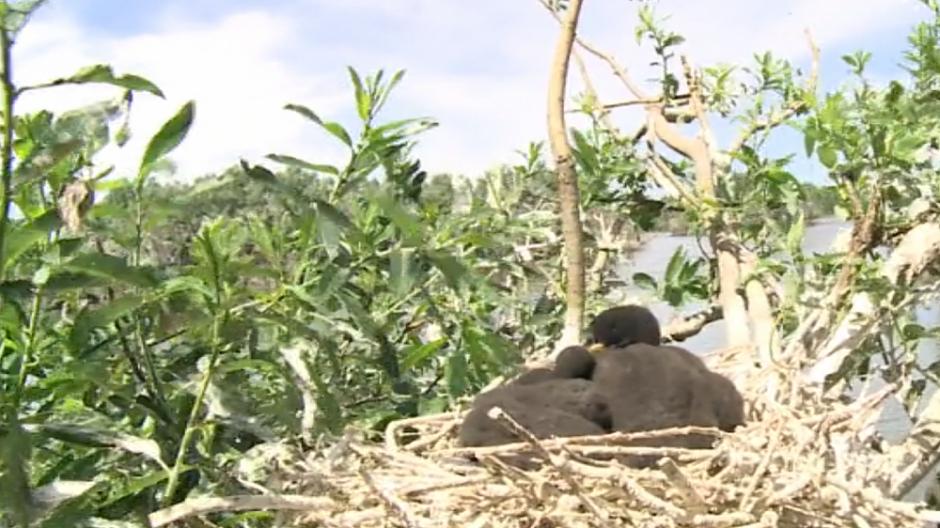 Į Rusnės salą persikėlę kormoranai varo galvos skausmą ir žvejams, ir vietiniams