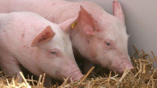 Nori išnaikinti visas kiaules 10 km atstumu nuo sienos su Baltarusija
