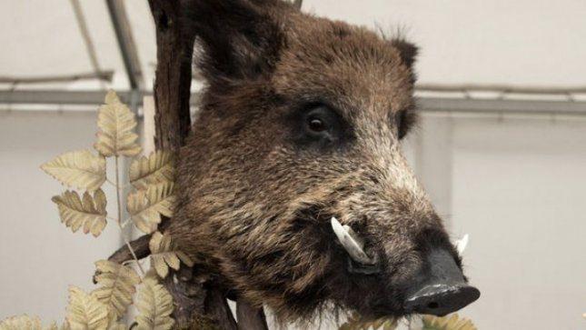 Šernų populiaciją mažinti skatinami medžiotojai grįžta ir tuščiomis