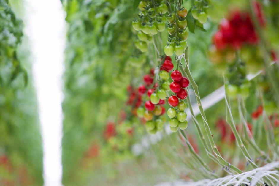 Kamanės – darbščiosios daržovių augintojų pagalbininkės