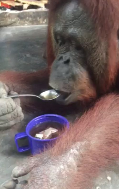 Trys savaitės pas Džiunglių karalienės miško žmones ir orangutanus