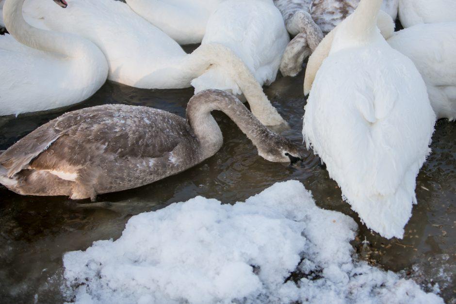 Gulbės – ledinio Nemuno pinklėse