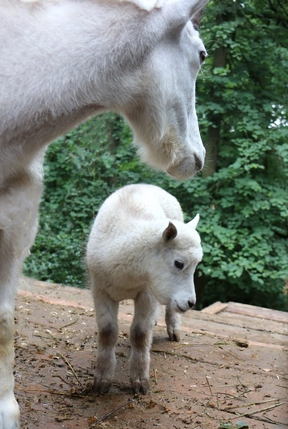 Lietuvos zoologijos sode – dar vienas mielas jauniklis