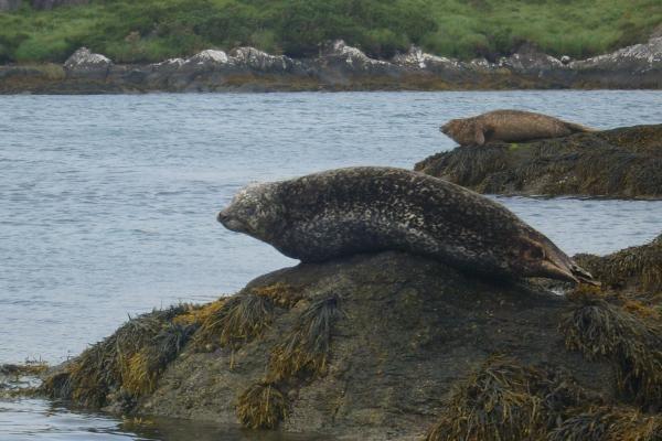 Aplinkos ministerijoje rengiamas pasitarimas dėl negyvų ruonių
