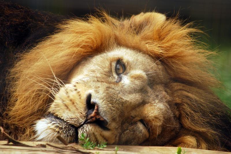 Britanijos policija tiria pranešimus apie laisvėje klaidžiojantį liūtą