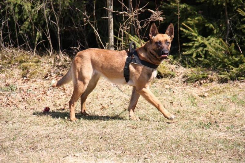 Pasienietį ir jo šunį puolęs šernas patiestas šūviu į tarpuakį (foto)