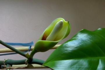 Gėlės augintojas prašo pagalbos