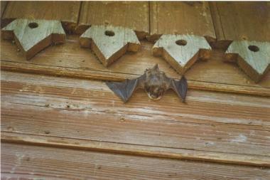Verkių rūmuose - pasakojimai apie šikšnosparnius