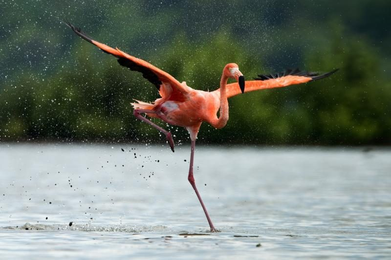 Japonijoje ieškoma iš zoologijos sodo pasprukusio flamingo